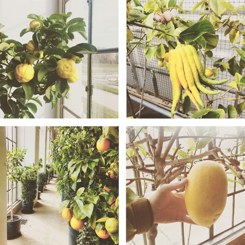 Lemonkollage